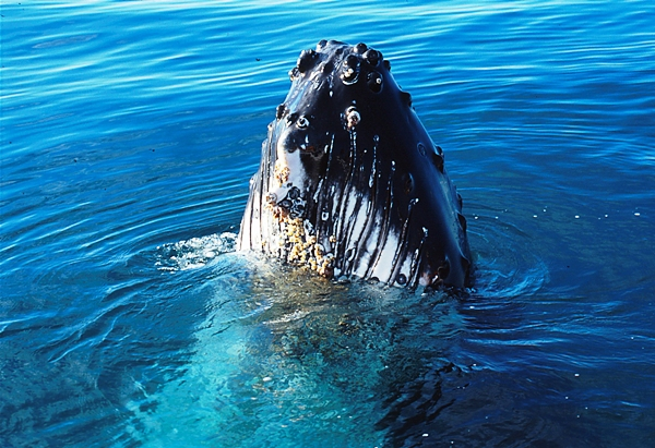 Whale watching, September to December, Perth | Adventure Travel, Holiday Tours Australia